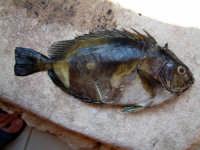pesce castagna (tipico dei fondali lampedusani)  - Lampedusa (7923 clic)
