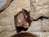 grotta dei puntali, pipistrello  - Villagrazia di carini (13974 clic)