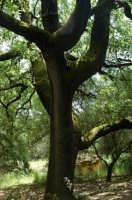 Quercia secolare nella riserva del fiume Belice  - Partanna (5772 clic)