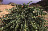 I capperi di Pantelleria  - Pantelleria (2310 clic)