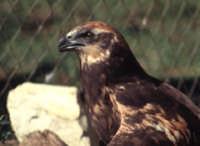 La Poiana ,fotografata nel bosco d'Alcamo a Monte Bonifato   - Alcamo (4136 clic)