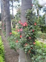 Albero in fiore  Giardino Inglese   - Palermo (1418 clic)