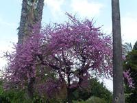 albero di lavanda   - Palermo (3917 clic)