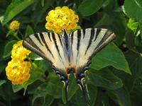 Farfalla su fiore di lantana Foto del 25/08/2007  - Castellammare del golfo (1215 clic)