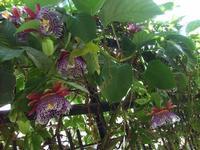 Passiflora   - Alcamo (757 clic)