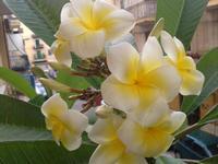 Pomelia: fiori di casa mia  PALERMO MARCO GIUSEPPE DE GAETANO