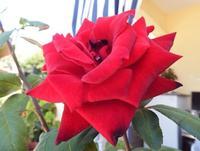 Una rosa   - Borgetto (1172 clic)