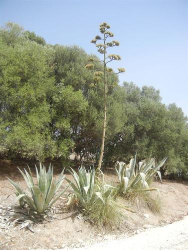 agavi lungo la salita al tempio - SEGESTA - inserita il 15-Jun-15