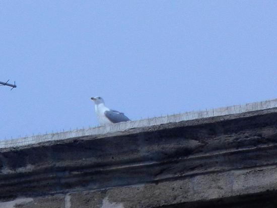 gabbiano sul tetto - SCIACCA - inserita il 07-Apr-16