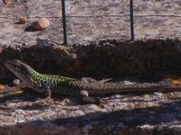 lucertola - 18 settembre 2012  - Alcamo (285 clic)