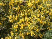 ginestra - Riserva Naturale Orientata Capo Rama - 15 aprile 2012  - Terrasini (1158 clic)
