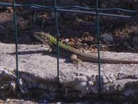 lucertola - 18 settembre 2012  - Alcamo (287 clic)