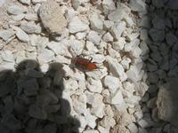 punteruolo rosso - 6 maggio 2012  - Alcamo (332 clic)