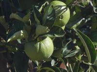 arance verdi - 18 settembre 2012  - Alcamo (281 clic)