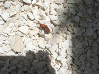 punteruolo rosso - 6 maggio 2012  - Alcamo (748 clic)
