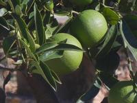 arance verdi - 18 settembre 2012  - Alcamo (246 clic)