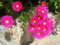 fiori - 6 maggio 2012  - Alcamo (324 clic)