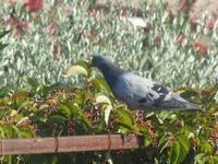 piccione - 18 settembre 2012  - Alcamo (280 clic)