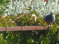 piccione - 18 settembre 2012  - Alcamo (269 clic)