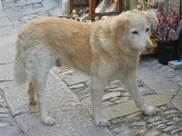 cane a spasso per le vie dell'antico borgo - 1 aprile 2012  - Erice (434 clic)