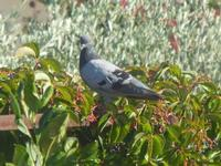 piccione - 18 settembre 2012  - Alcamo (295 clic)