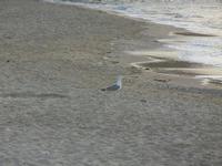 Spiaggia Plaja - gabbiano in riva al mare - 15 giugno 2012  - Castellammare del golfo (206 clic)