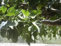 albero di fico - particolare - 3 luglio 2012  - Scopello (320 clic)