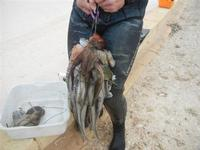 pesci e polpi pescati da un subacqueo - 29 gennaio 2012  - Nubia (2050 clic)