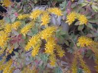 fiori gialli di pianta grassa - 4 aprile 2012  - Alcamo (352 clic)