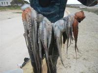 polpi pescati da un subacqueo - 29 gennaio 2012  - Nubia (3480 clic)
