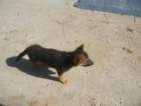 cucciolo di cane lupo - La Torre di Nubia - 25 aprile 2012  - Nubia (410 clic)