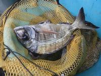 sarago pescato da un subacqueo - 29 gennaio 2012  - Nubia (1500 clic)