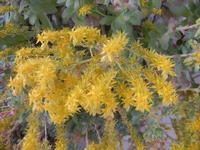 fiori gialli di pianta grassa - 4 aprile 2012  - Alcamo (717 clic)