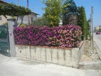 siepe di buganvillea e lantana - 26 maggio 2012  - Alcamo (461 clic)