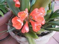 vaso con Clivia - 5 aprile 2012  - Alcamo (429 clic)