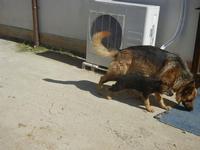 cucciolo e cane lupo - La Torre di Nubia - 25 aprile 2012  - Nubia (442 clic)