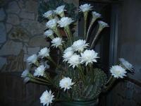 fiori di cactus - 30 luglio 2012  - Alcamo (304 clic)