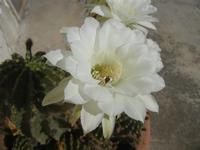 fiori di cactus - 18 agosto 2012  - Alcamo (241 clic)