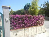 siepe di buganvillea e lantana - 26 maggio 2012  - Alcamo (1004 clic)