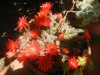 pianta grassa in fiore - 26 maggio 2012  - Alcamo (646 clic)