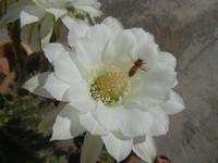 fiori di cactus - 18 agosto 2012  - Alcamo (208 clic)