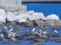 sosta gabbiani e garzette - 27 agosto 2012  - Castellammare del golfo (266 clic)