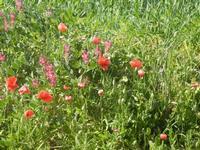grano, papaveri e sulla - UMMARI - 1 aprile 2012  - Trapani (476 clic)