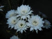 fiori di cactus - 30 luglio 2012  - Alcamo (302 clic)
