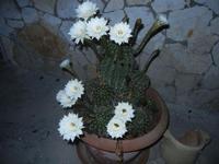 fiori di cactus - 30 luglio 2012  - Alcamo (269 clic)