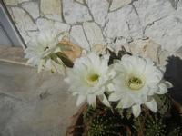 fiori di cactus - 18 agosto 2012  - Alcamo (255 clic)