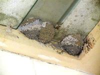 nidi di rondine presso la stazione ferroviaria Alcamo Diramazione - 4 marzo 2012  - Calatafimi segesta (668 clic)