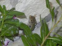 lucertola nascosta - 12 settembre 2012  - Alcamo (269 clic)