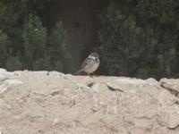 passero su muretto - 22 gennaio 2012  - Scopello (624 clic)