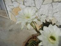 fiori di cactus - 18 agosto 2012  - Alcamo (235 clic)